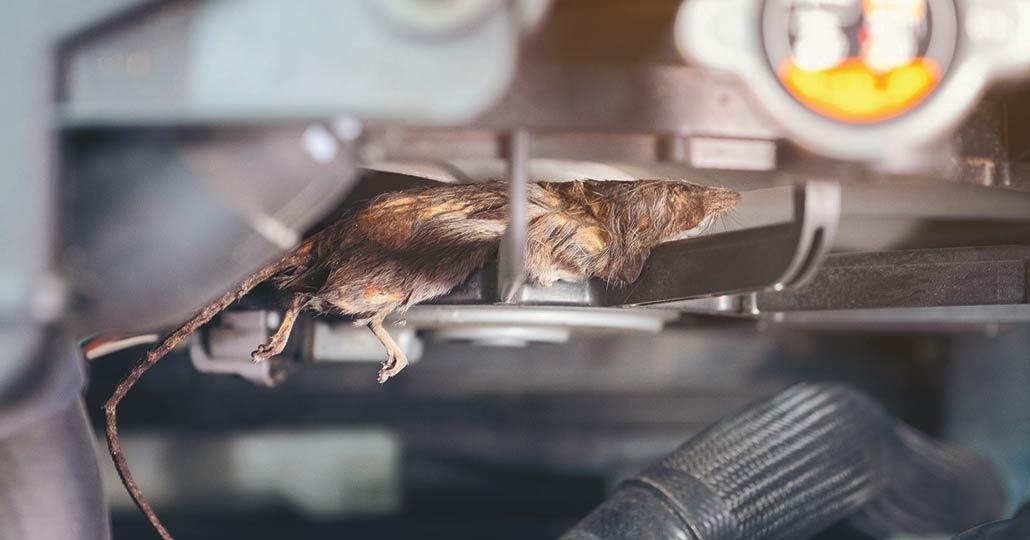 Kembali Gunakan Mobil Pribadi di Masa New Normal, Hati-hati Ada Tikus di Mobilmu